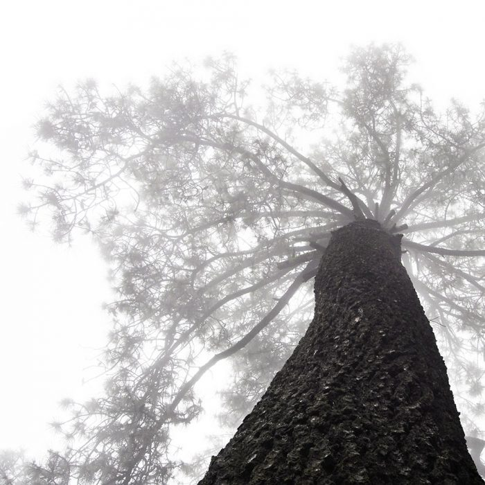 foto de arbol ramas pino en la neblina en el ocotal mexico